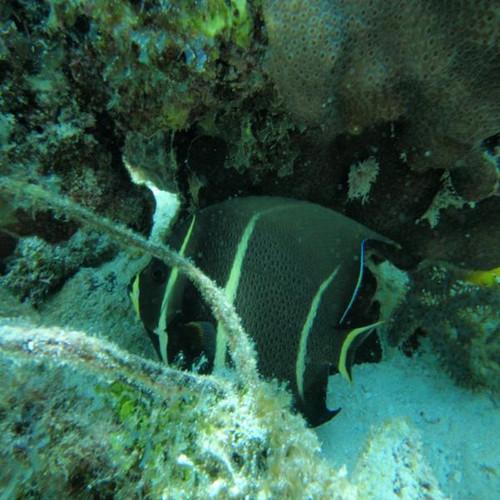 Black Angelfish (Medium 3-5 inches)