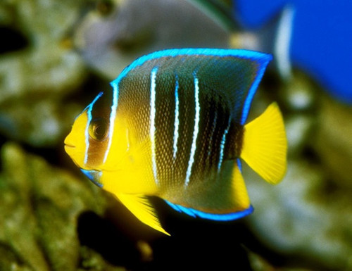 Blue Angelfish (Small 2-3 inches)