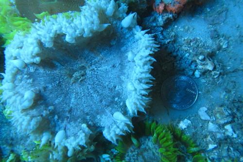 Common Rock Anemone