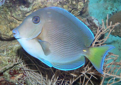 Atlantic Blue Tang XL 7-10 inches (Caribbean Tang)