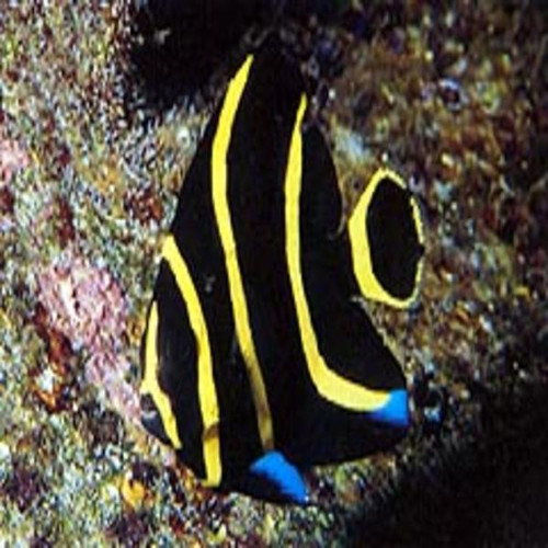 French Angelfish (Smal 1  1/2  - 3 inchesl)