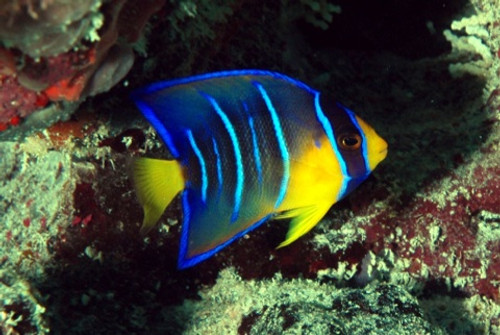 Queen Angelfish (Small 2-3 inches)