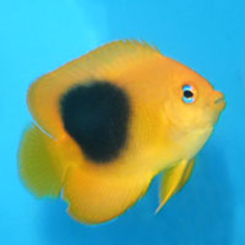 Rock Beauty Angelfish (Small 2-3 inches)