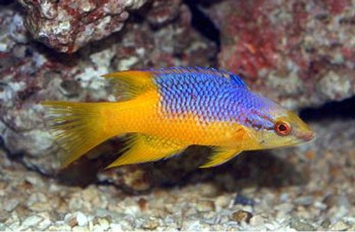 Spanish Hogfish (Small 1-3 inches)