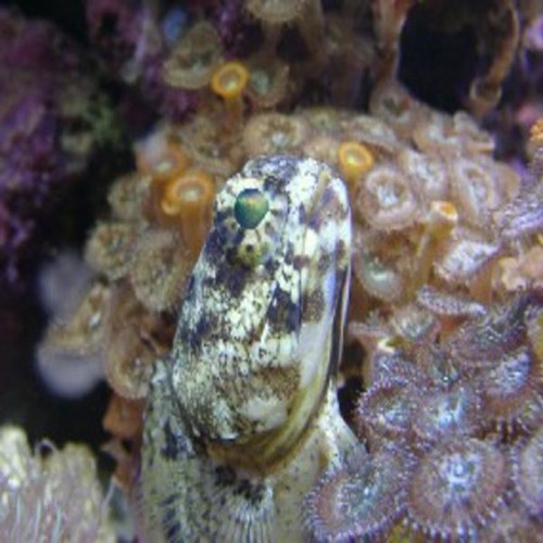Dusky Jawfish (large)
