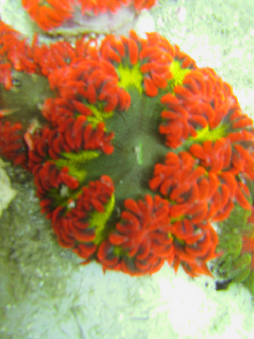 Atomic Green & Red Ultra Rock Anemone, Neon Green & Red Ultra Rock Anemone