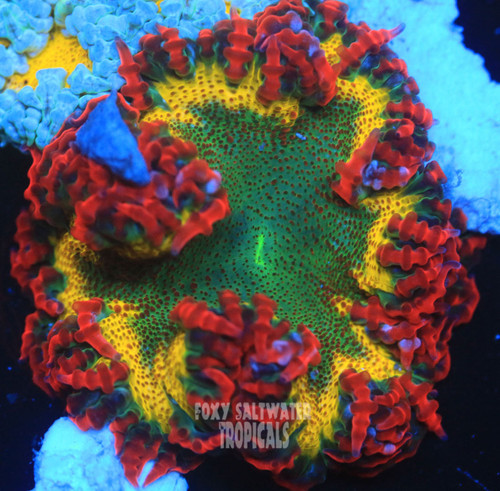 reef safe anemone red and green