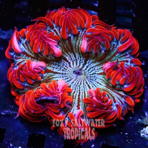 classy red pin stripe ultra rock flower