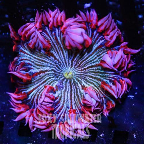 pink rock anemone