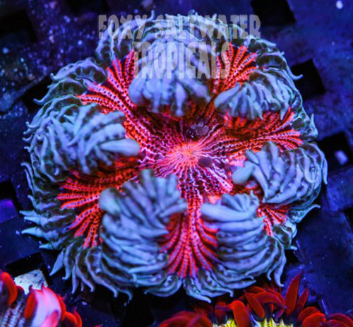 Strawberry Delight Pink Ultra Rock Anemone