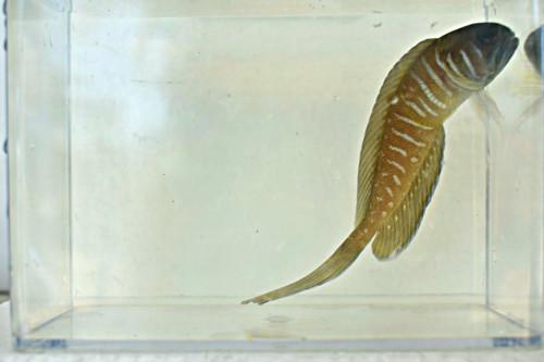 Lyretail jawfish