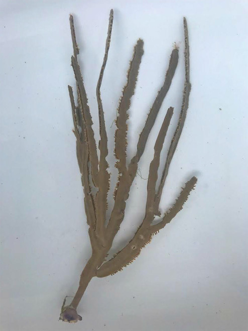 Tan Grooved-Blade Sea Whip Gorgonian
