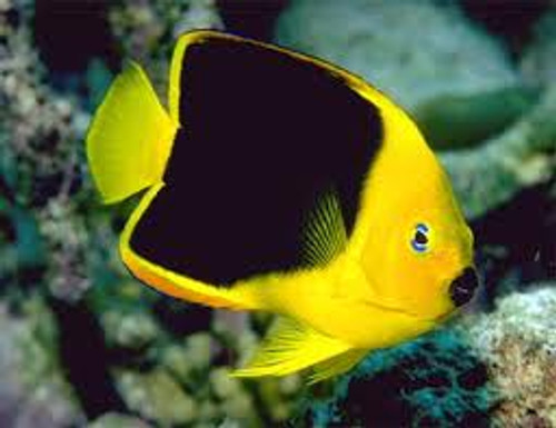 Rock Beauty Angelfish (Large 4-5 inches)