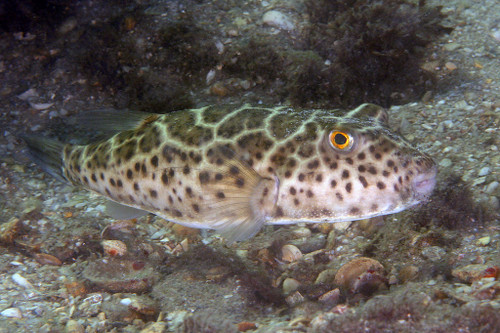 Checkered Pufferfish (Large 4-8 inches)