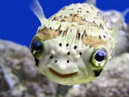 Balloon Puffers/ Spiny Porcupine Fish (2-4 inches)