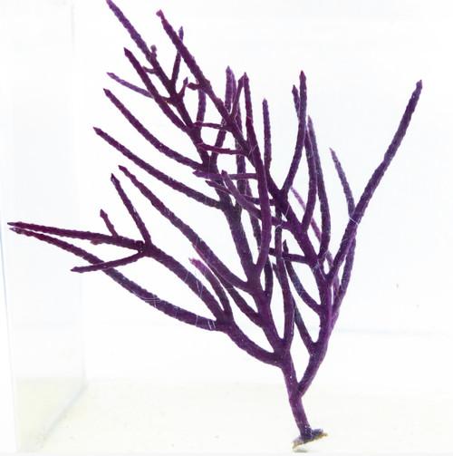 Purple Feather Sea Plume