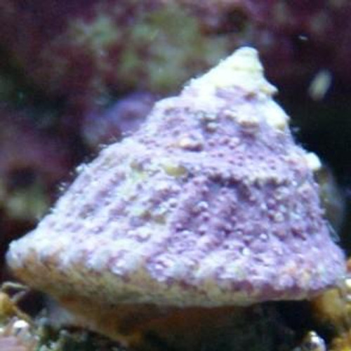 Clean upReinforcement 100 Blue legs/100 Astrea snail Pack