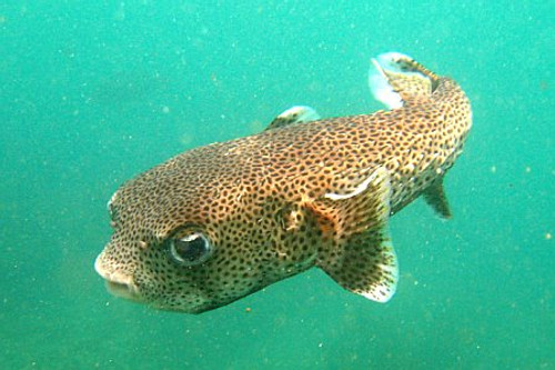 Show Porcupine Puffer (8-12 inches)