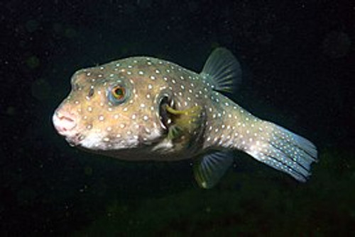 White Spotted Puffer (4-5 inches)