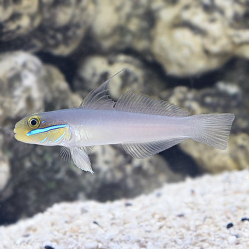 Yellowheaded Goby (sand sifting)