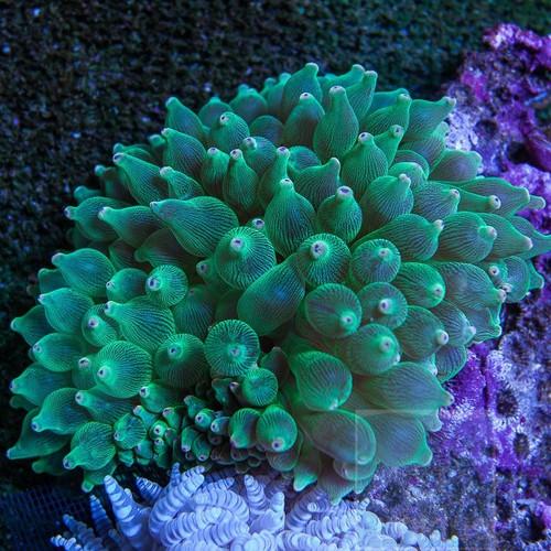 Green Bubble Tip Anemone (small)