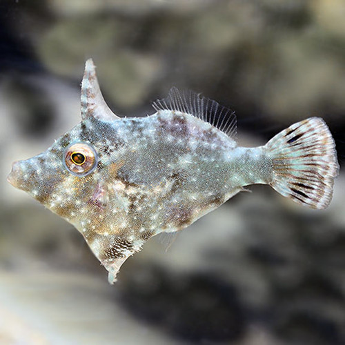 Matted Filefish (Aiptasia eating File)