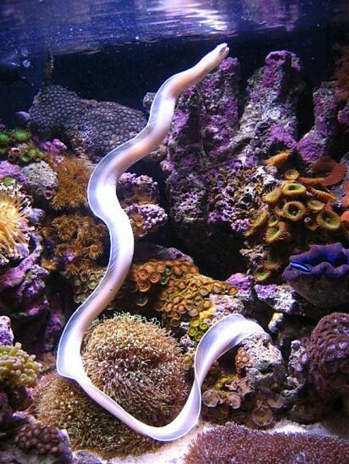 Ghost Eel (approx. 2-3 feet)
