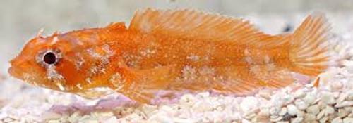 Orange Toad Fish