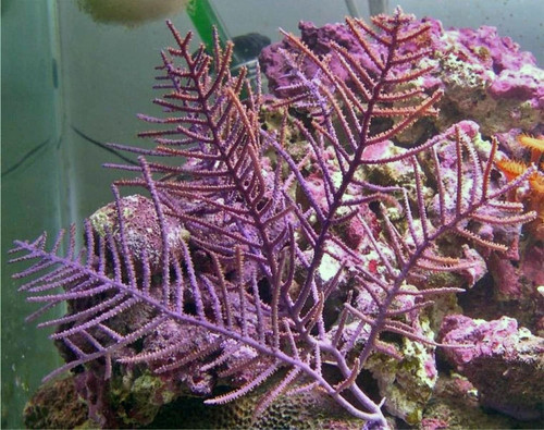 Purple bush gorgonian from the Caribbean.