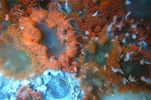 Red Rock Anemone 3 Pack