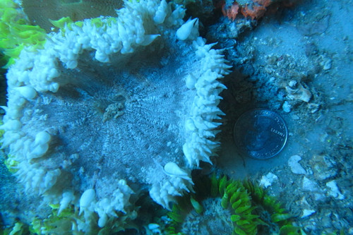 Common Rock Anemone 3 Pack