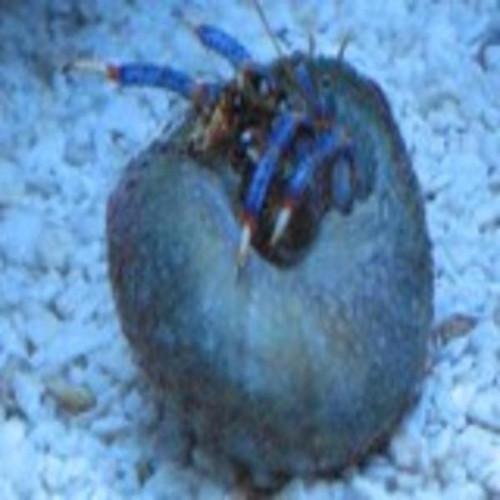 Blue Leg  Hermit Crab 10 Pack