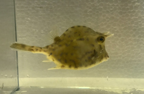 Honeycomb Cowfish Med (3-5 inches)