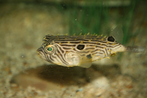 Spiny Box Puffers/ Striped Burrfish Med (3-5 inches)