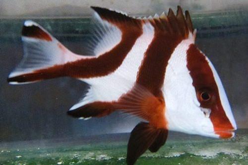 Red Emperor Snapper (Small)