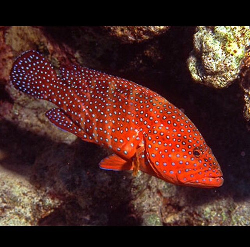 Miniatus Grouper (5-7 inches)