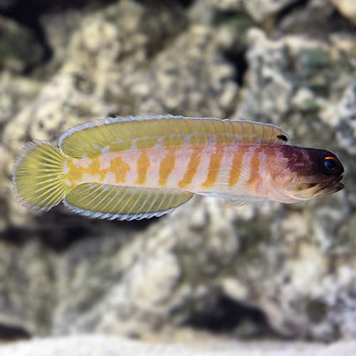 Black Cap Jawfish