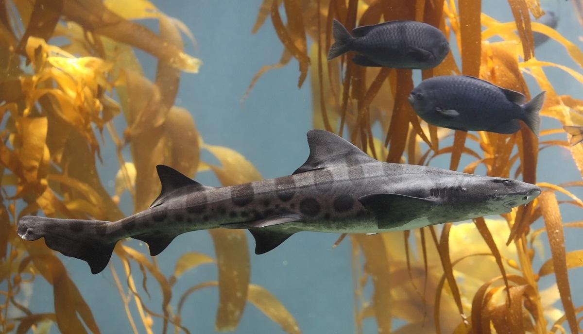 shark swimming in kelp, sharks for sale