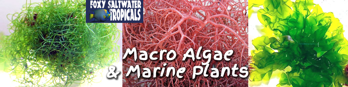 Marine Plants and Saltwater MacroAlgae For Sale