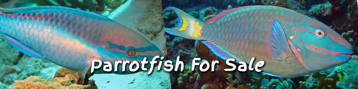 parrotfish for sale at foxy's saltwater tropicals