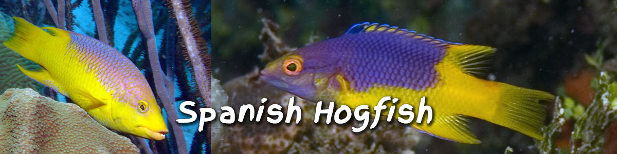 Spanish Hogfish for sale from the Caribbean ocean.