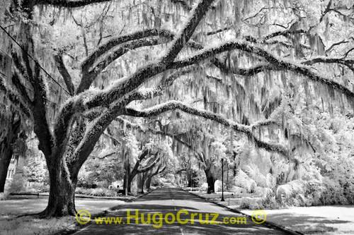 """Ocala Canopy"" ● Infrared Photography"