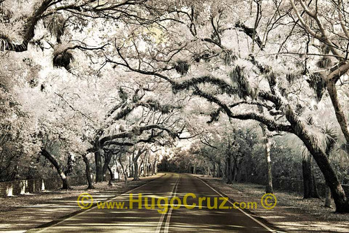 """""""Douglas Canopy"""" ● Infrared Photography"""