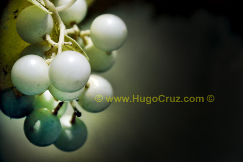 """""""Wine Grapes"""""""" - Infrared Photography"""