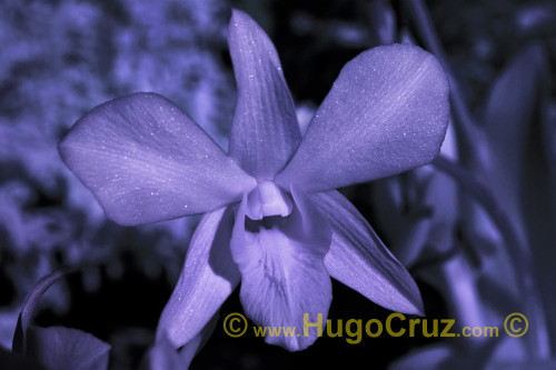 """""""Star Purple Orchid"""" - Infrared Art Photography"""