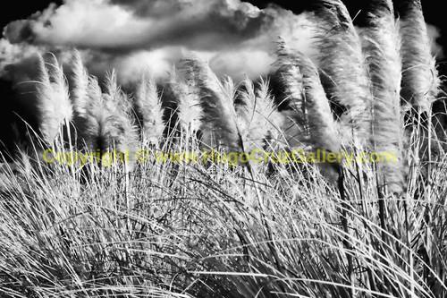 """""""Bending Beach Grass"""" ● Infrared Photography"""