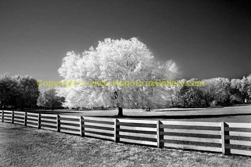 Hail the Haile Oak