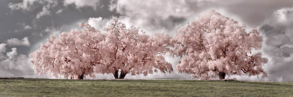 """""""The Three Oaks"""" ● Infrared Photography"""
