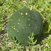Moon and Stars Watermelon - Organic