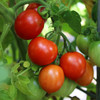 Principe Borghese Tomato